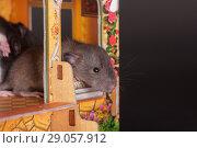 Купить «Baby rat in toy house», фото № 29057912, снято 23 ноября 2012 г. (c) Argument / Фотобанк Лори