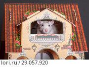 Купить «Rat in a toy house window», фото № 29057920, снято 25 ноября 2012 г. (c) Argument / Фотобанк Лори