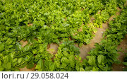 Купить «Image of seedlings of Malabar Spinach growing in sunny greenhouse», видеоролик № 29058024, снято 23 июля 2018 г. (c) Яков Филимонов / Фотобанк Лори