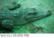 Зеленый крокодил. Стоковое фото, фотограф Павел Сапожников / Фотобанк Лори