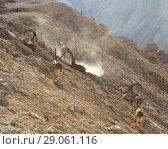 Купить «Nubian ibex (Capra nubiana sinaitica)  in Sde Boker. Herd of old male ibex in mountains in sunny day. Negev desert of southern Israel», фото № 29061116, снято 12 августа 2018 г. (c) Валерия Попова / Фотобанк Лори