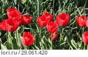Купить «Сильный ветер колышет красные тюльпаны», видеоролик № 29061420, снято 21 апреля 2018 г. (c) Олег Хархан / Фотобанк Лори