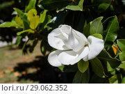 Купить «Магнолия крупноцветковая (лат. Magnolia Grandiflora) растёт на дереве», эксклюзивное фото № 29062352, снято 3 июня 2018 г. (c) Игорь Низов / Фотобанк Лори