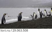 Купить «King Penguins walk on beach», видеоролик № 29063508, снято 31 августа 2018 г. (c) Vladimir / Фотобанк Лори