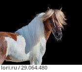 Купить «Портрет пегого жеребца породы Американская миниатюрная лошадь», фото № 29064480, снято 13 июля 2018 г. (c) Абрамова Ксения / Фотобанк Лори