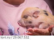 Купить «Decorative pig on the hands of the hostess.», фото № 29067532, снято 27 мая 2018 г. (c) Акиньшин Владимир / Фотобанк Лори