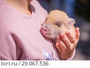 Купить «Decorative pig on the hands of the hostess.», фото № 29067536, снято 27 мая 2018 г. (c) Акиньшин Владимир / Фотобанк Лори
