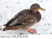 Купить «Grey female duck standing on snow at cold weather», фото № 29070516, снято 9 февраля 2014 г. (c) Кекяляйнен Андрей / Фотобанк Лори