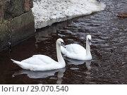 Купить «Два белых лебедя плавают в зимнем пруду», фото № 29070540, снято 9 февраля 2014 г. (c) Кекяляйнен Андрей / Фотобанк Лори