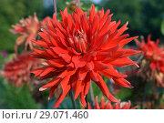 Купить «Большой красный георгин цветок крупным планом», фото № 29071460, снято 8 сентября 2018 г. (c) Ирина Носова / Фотобанк Лори