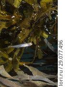 Купить «Two spotted Goby (Gobiusculus flavescens) near algae toothed wrack (Fucus serratus)», фото № 29077496, снято 8 августа 2018 г. (c) Некрасов Андрей / Фотобанк Лори