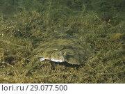 Купить «European plaice (Pleuronectes platessa) on algae», фото № 29077500, снято 8 августа 2018 г. (c) Некрасов Андрей / Фотобанк Лори