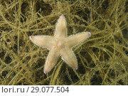 Купить «Sand Star(Astropecten platyacanthus) on algae», фото № 29077504, снято 8 августа 2018 г. (c) Некрасов Андрей / Фотобанк Лори
