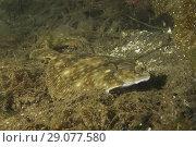 Купить «European plaice (Pleuronectes platessa) on algae», фото № 29077580, снято 8 августа 2018 г. (c) Некрасов Андрей / Фотобанк Лори