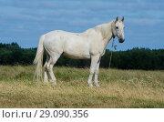 Купить «Белый конь в поле. Скакун на пастбище.», фото № 29090356, снято 28 июля 2018 г. (c) Яковлев Сергей / Фотобанк Лори