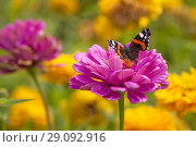 Купить «Бабочка Адмирал (Vanessa atalanta) на цветке циннии», фото № 29092916, снято 4 сентября 2018 г. (c) Наталья Николаева / Фотобанк Лори