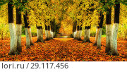 Купить «Autumn landscape - bright autumn trees and orange fallen leaves on the ground. Colorful autumn alley in the city park», фото № 29117456, снято 6 октября 2017 г. (c) Зезелина Марина / Фотобанк Лори