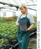 Купить «Female gardener holding pots while gardening with euphorbia pulcherrima», фото № 29124812, снято 20 августа 2018 г. (c) Яков Филимонов / Фотобанк Лори
