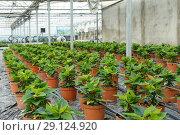 Купить «Seedlings of euphorbia pulcherrima growing in pots in sunny greenhouse», фото № 29124920, снято 13 августа 2018 г. (c) Яков Филимонов / Фотобанк Лори