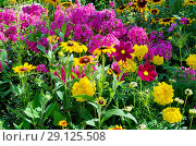 Купить «Клумба с разноцветными садовыми цветами», фото № 29125508, снято 8 августа 2018 г. (c) Елена Коромыслова / Фотобанк Лори