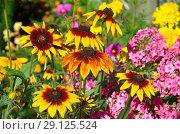 Купить «Рудбекия (лат.Rudbeckiа) цветет в летнем саду», фото № 29125524, снято 10 августа 2018 г. (c) Елена Коромыслова / Фотобанк Лори
