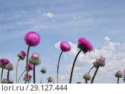 Купить «Цветы чертополоха крючковатого на фоне голубого неба», фото № 29127444, снято 8 мая 2016 г. (c) Илюхина Наталья / Фотобанк Лори