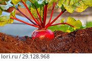 Купить «Свежий урожай свеклы на грядке», фото № 29128968, снято 21 сентября 2018 г. (c) Наталия Кузнецова / Фотобанк Лори