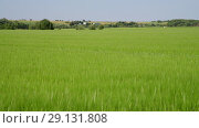 Купить «green wheat field in June and village houses in Russia», видеоролик № 29131808, снято 22 июня 2018 г. (c) Володина Ольга / Фотобанк Лори