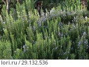 Купить «Ling heather (Caluna vulgaris)», фото № 29132536, снято 19 сентября 2018 г. (c) Марина Володько / Фотобанк Лори