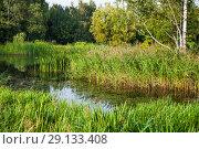 Купить «Заросли тростника обыкновенного, или южного (Phragmites australis) и манника (Glyceria) на озере», фото № 29133408, снято 8 сентября 2018 г. (c) Алёшина Оксана / Фотобанк Лори