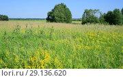 Купить «wild Russian meadow in June», видеоролик № 29136620, снято 22 июня 2018 г. (c) Володина Ольга / Фотобанк Лори