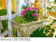A small clump of purple pink ite purple centered African daisy Osteospermum. Стоковое фото, фотограф Маргарита Бородина / Фотобанк Лори