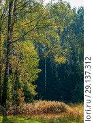 Купить «Сентябрь в лесу. Береза и спирея иволистная», фото № 29137312, снято 2 сентября 2018 г. (c) Сергей Неудахин / Фотобанк Лори