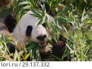 Купить «Гигантская панда», фото № 29137332, снято 17 сентября 2018 г. (c) Stockphoto / Фотобанк Лори