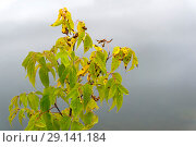 Autumn withered leaves of the maple tree on a blurry foggy background. Стоковое фото, фотограф Евгений Харитонов / Фотобанк Лори