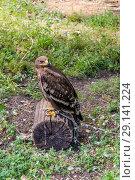 Купить «Степной орёл (лат. Aquila rapax)», фото № 29141224, снято 7 июля 2018 г. (c) Ольга Сейфутдинова / Фотобанк Лори