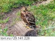 Купить «Степной орёл (лат. Aquila rapax)», фото № 29141228, снято 7 июля 2018 г. (c) Ольга Сейфутдинова / Фотобанк Лори
