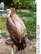 Купить «Белоголовый сип (лат. Gyps fulvus), Griffon vulture. Eurasian griffon. vulture», фото № 29142304, снято 7 июля 2018 г. (c) Ольга Сейфутдинова / Фотобанк Лори