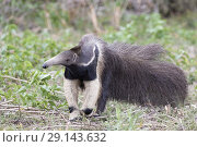 Giant anteater (Myrmecophaga tridactyla), adult, Pantanal, Mato Grosso, Brazil. Стоковое фото, фотограф Bernd Rohrschneider / age Fotostock / Фотобанк Лори