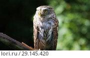 Купить «Little owl sitting on a branch in the forest on a sunny summer day», видеоролик № 29145420, снято 27 сентября 2018 г. (c) Алексей Кузнецов / Фотобанк Лори