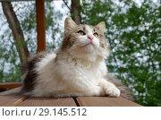 Купить «Длинношерстная кошка на улице», фото № 29145512, снято 28 июля 2018 г. (c) Елена Коромыслова / Фотобанк Лори