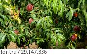 Купить «Organic peaches on tree branch in sunny garden at summer, nobody», видеоролик № 29147336, снято 27 августа 2018 г. (c) Яков Филимонов / Фотобанк Лори