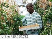 Купить «Farmer gathering in crops of tomatoes», фото № 29150792, снято 16 августа 2018 г. (c) Яков Филимонов / Фотобанк Лори