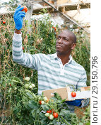 Купить «Farmer gathering in crops of tomatoes», фото № 29150796, снято 16 августа 2018 г. (c) Яков Филимонов / Фотобанк Лори