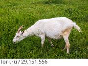 Купить «Коза на летнем пастбище», фото № 29151556, снято 7 июля 2018 г. (c) Ольга Сейфутдинова / Фотобанк Лори