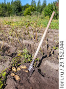 Купить «Freshly dug organic potatoes and shovel in the soil», фото № 29152044, снято 22 мая 2019 г. (c) FotograFF / Фотобанк Лори