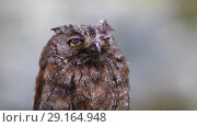 Купить «The owl looks at the camera and then something scares her. Eurasian (European) scops owl  in its natural forest habitat, closeup», видеоролик № 29164948, снято 2 октября 2018 г. (c) Алексей Кузнецов / Фотобанк Лори