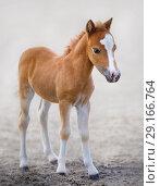 Купить «Рыжий жеребенок. Американская миниатюрная лошадь.», фото № 29166764, снято 13 июля 2018 г. (c) Абрамова Ксения / Фотобанк Лори