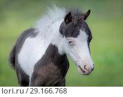 Купить «Портрет жеребенка с голубыми глазами. Американская миниатюрная лошадь.», фото № 29166768, снято 13 июля 2018 г. (c) Абрамова Ксения / Фотобанк Лори