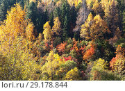 Купить «Top view of the autumn forest. Natural abstract background of yellowed trees, green pines and red falling leaves of shrubs», фото № 29178844, снято 30 сентября 2018 г. (c) Виктория Катьянова / Фотобанк Лори